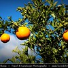 Greece - Peloponnese Peninsula - Orange Trees