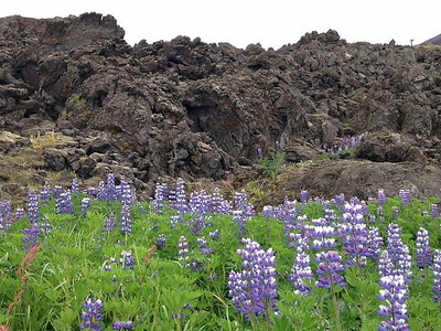 Lupines and Lava - Iceland is Iceland is volcanically and geologically active.