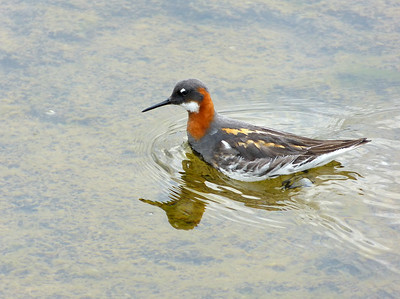 spinning Red-necked Phalarope (this one female),