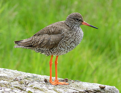and the every present Redshank.