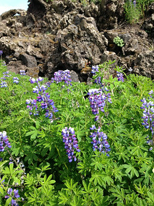 Within minutes of getting off the plane, we are surrounded by Lupines. Everywhere!