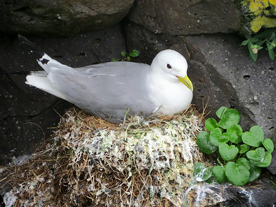 and Black-legged Kittiwakes.