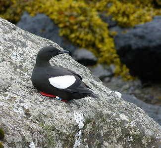 Black Guillemots,