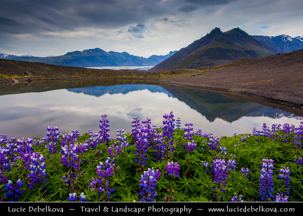 Europe - Iceland - Southern Iceland - Vatnajökull National Park - UNESCO World Heritage - Large fields of vibrant purple nootka or Alaskan lupine