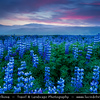 Europe - Iceland - Southern Iceland - Fields of vibrant purple nootka or Alaskan lupine - Flowers in full bloom in the middle of Icelandic summer captured at misty midnight sunset