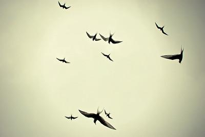 Arctic Terns, Grimsey Island