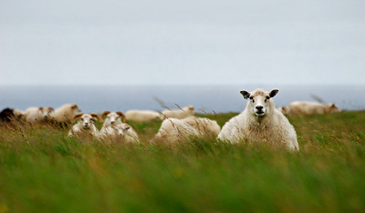 Icelandic Sheep, Grimsey Island