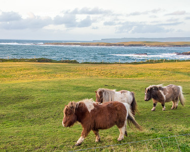 Shetland ponies along Spanish Point.