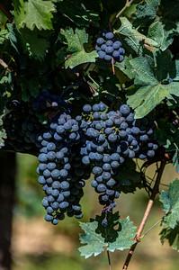 Grapes Tuscany, Italy