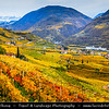 Europe - Italy - Italia - Alps - Province of South Tyrol - Tirol - Bolzano valley basin - Vineyards - Rows of grape bearing vine plantation for winemaking during autumn time with fall warm changing colors