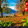 Europe - Italy - Italia - Alps - Province of South Tyrol - Tirol - Bolzano valley basin - Merano area - Adige Valley - Apple plantation during autumn time with fall warm changing colors