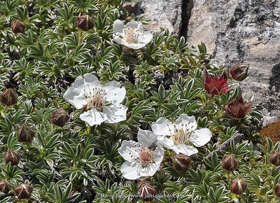 Potentilla nitida (white form)