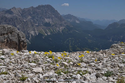 habitat Papaver alpinum ssp. rhaeticum