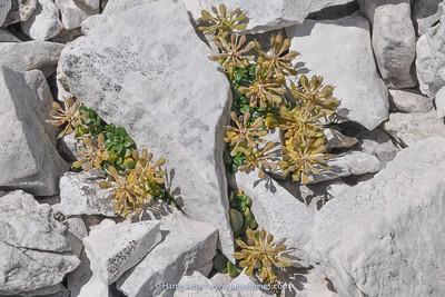 Thlaspi rotundifolium (seed heads)