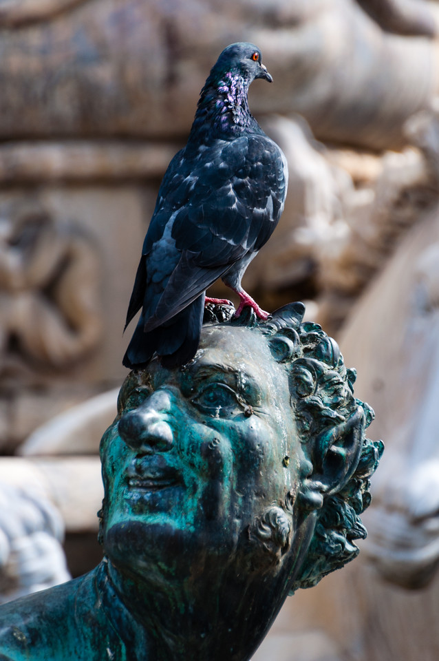 Pigeons love the statuary on the Piazza della Signoria in Florence, Italy