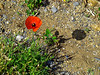 Lone poppy on the strand