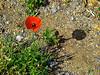 Lone poppy on the strand