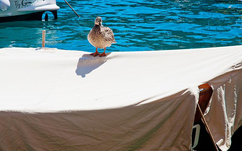 Harbor duck