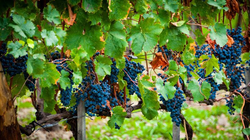 The Grape Festival at Impruneta, Italy