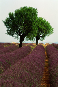 Rows of Lavender