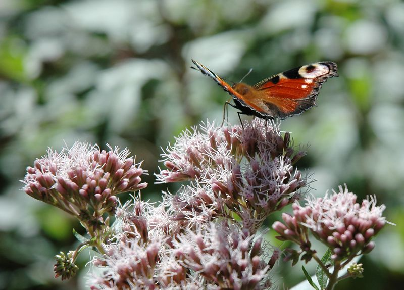 Butterfly in the Black Forest