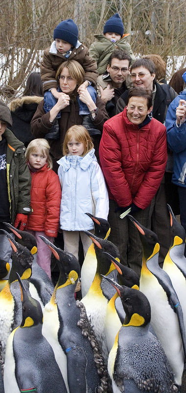 ..and they attract the crowd! Unlike many other penguins, the king penguin runs with its feet and doesn't hop while on land.