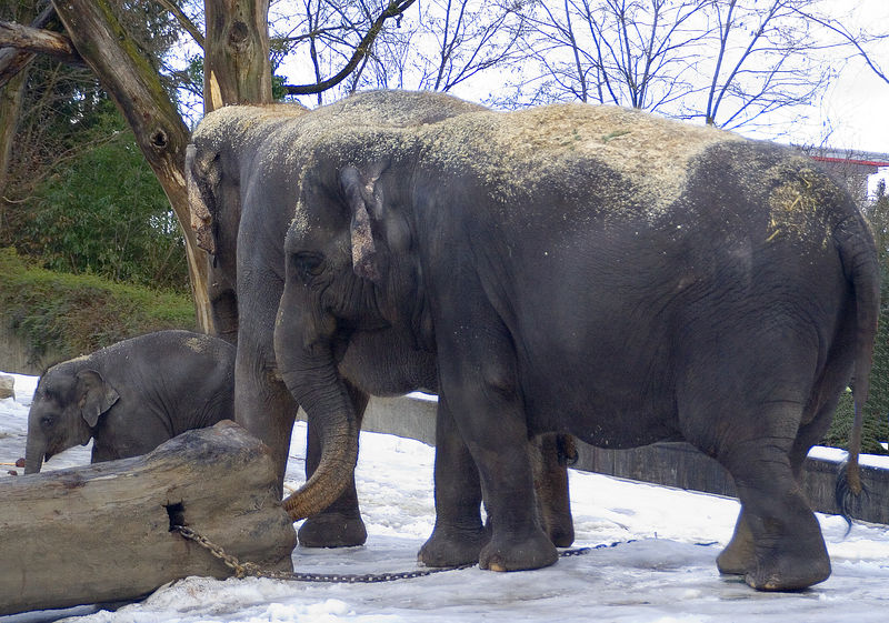 Farha (Asian Elephant) was born in May 2005. One week after birth, Farha weighted 140kg.