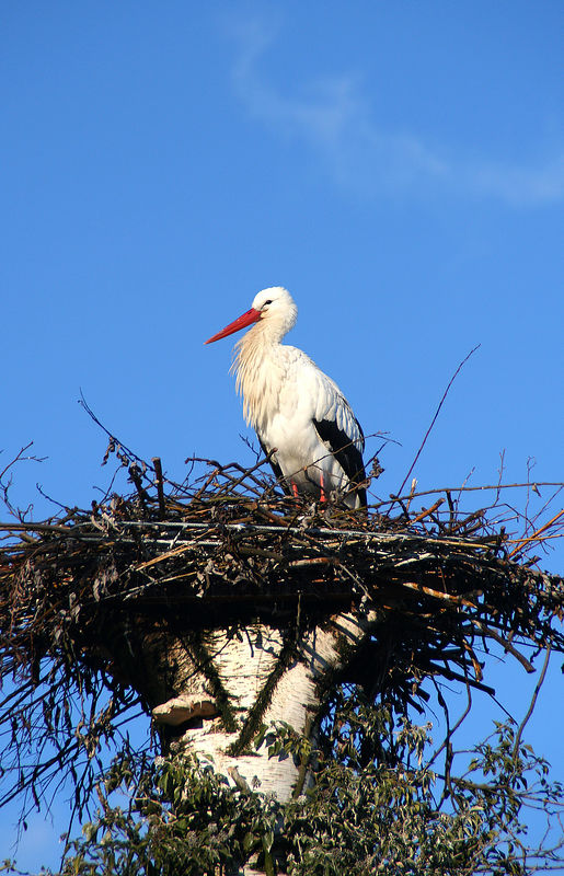 European white stork (2.2 meters wing span).