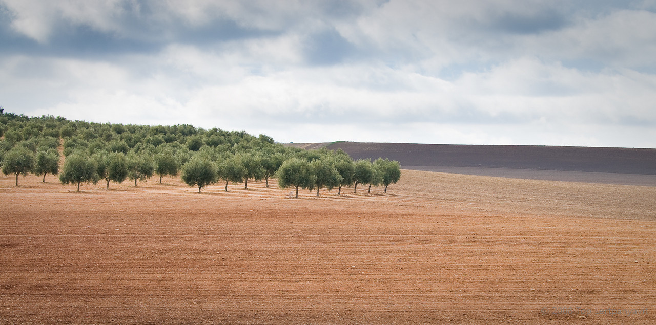 Neat rows of olive trees spot the Andalucía countryside