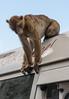 Barbary Ape<br /> Gibraltar