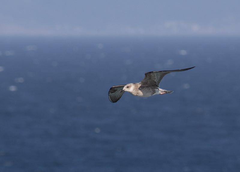 Spanish Gulls<br /> La Coruna