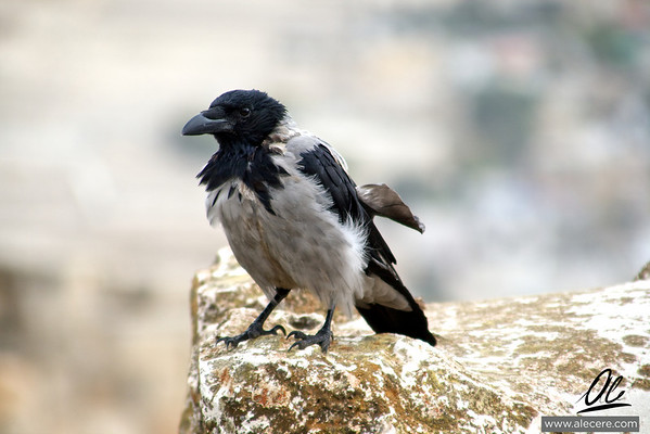 Crow in the old city