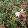 Potentilla fruticosa, on the Muckross estate