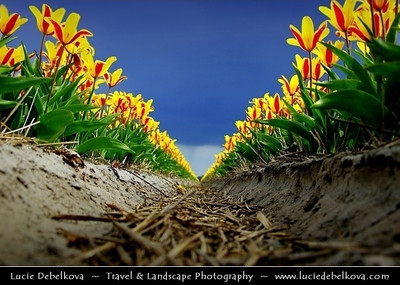 Netherlands - Dutch Spring in Bright Colors - Blooming Fields of Yellow Tulips During Dramatic Stormy Weather - World-known symbols for Holland   Camera Model: PENTAX K20D        ; ; Focal length: 26.88 mm; Aperture: 8.0; Exposure time: 1/250 s; ISO: 100