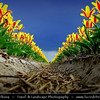 Netherlands - Dutch Spring in Bright Colors - Blooming Fields of Yellow Tulips During Dramatic Stormy Weather - World-known symbols for Holland <br /> <br /> Camera Model: PENTAX K20D        ; ; Focal length: 26.88 mm; Aperture: 8.0; Exposure time: 1/250 s; ISO: 100