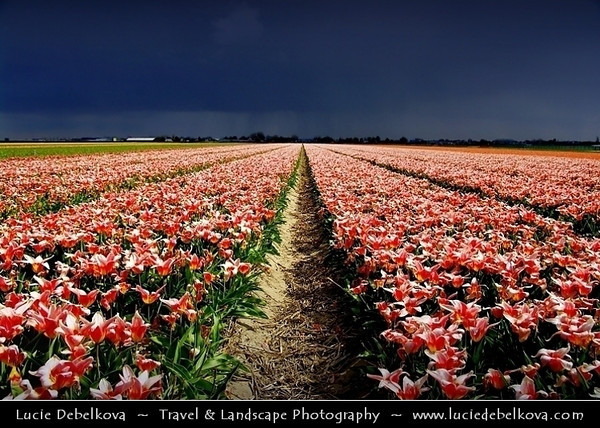 Netherlands - Dutch Spring in Bright Colors - Blooming Fields of Pink Tulips During Dramatic Stormy Weather - World-known symbols for Holland <br /> <br /> Camera Model: PENTAX K20D        ; ; Focal length: 18.00 mm; Aperture: 8.0; Exposure time: 1/500 s; ISO: 100