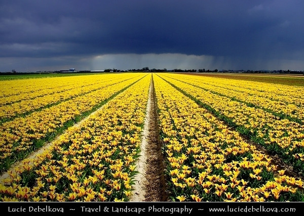 Netherlands - Dutch Spring in Bright Colors - Blooming Fields of Yellow Tulips During Dramatic Stormy Weather - World-known symbols for Holland <br /> <br /> Camera Model: PENTAX K20D        ; ; Focal length: 18.00 mm; Aperture: 8.0; Exposure time: 1/350 s; ISO: 100