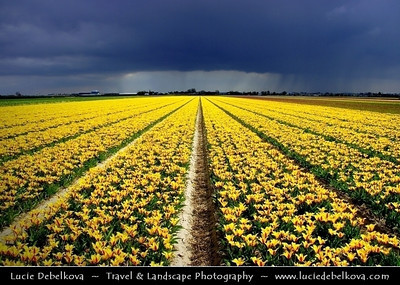 Netherlands - Dutch Spring in Bright Colors - Blooming Fields of Yellow Tulips During Dramatic Stormy Weather - World-known symbols for Holland   Camera Model: PENTAX K20D        ; ; Focal length: 18.00 mm; Aperture: 8.0; Exposure time: 1/350 s; ISO: 100