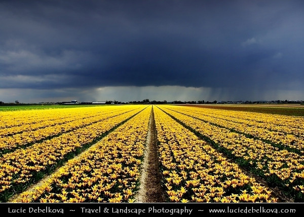 Netherlands - Dutch Spring in Bright Colors - Blooming Fields of Yellow Tulips During Dramatic Stormy Weather - World-known symbols for Holland <br /> <br /> Camera Model: PENTAX K20D        ; ; Focal length: 18.00 mm; Aperture: 6.7; Exposure time: 1/350 s; ISO: 100