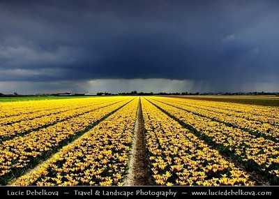 Netherlands - Dutch Spring in Bright Colors - Blooming Fields of Yellow Tulips During Dramatic Stormy Weather - World-known symbols for Holland   Camera Model: PENTAX K20D        ; ; Focal length: 18.00 mm; Aperture: 6.7; Exposure time: 1/350 s; ISO: 100