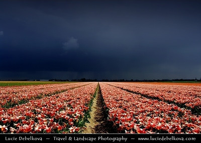 Netherlands - Dutch Spring in Bright Colors - Blooming Fields of Pink Tulips During Dramatic Stormy Weather - World-known symbols for Holland   Camera Model: PENTAX K20D        ; ; Focal length: 20.63 mm; Aperture: 16; Exposure time: 1/90 s; ISO: 100