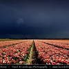 Netherlands - Dutch Spring in Bright Colors - Blooming Fields of Pink Tulips During Dramatic Stormy Weather - World-known symbols for Holland <br /> <br /> Camera Model: PENTAX K20D        ; ; Focal length: 20.63 mm; Aperture: 16; Exposure time: 1/90 s; ISO: 100