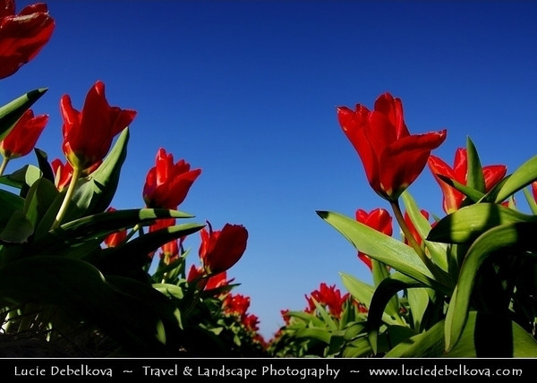 Netherlands - Dutch Spring in Bright Colors - Blooming Fields of Tulips - World-known symbols for Holland <br /> <br /> Camera Model: PENTAX K20D        ; ; Focal length: 18.00 mm; Aperture: 6.7; Exposure time: 1/350 s; ISO: 100