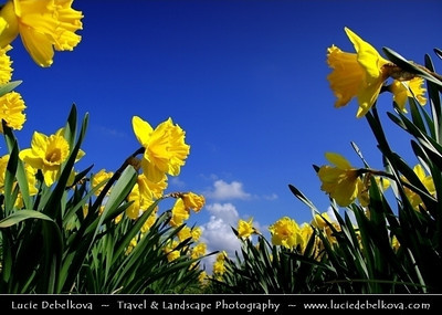 Netherlands - Dutch Spring in Bright Colors - Blooming Fields of Yellow Flowers - Narcis - Narcissus - World-known sight of Holland   Camera Model: PENTAX K20D        ; ; Focal length: 18.00 mm; Aperture: 8.0; Exposure time: 1/500 s; ISO: 100