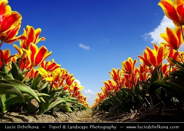 Netherlands - Dutch Spring in Bright Colors - Blooming Fields of Tulips - World-known symbols for Holland <br /> <br /> Camera Model: PENTAX K20D        ; ; Focal length: 18.00 mm; Aperture: 8.0; Exposure time: 1/350 s; ISO: 100