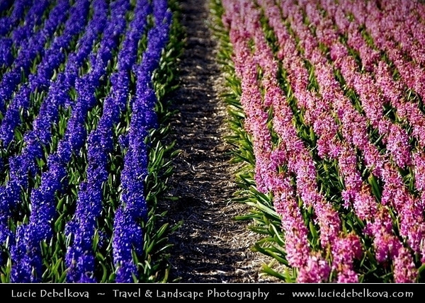 Netherlands - Dutch Spring in Bright Colors - Blooming Fields of Pink & Purple Hyacinths - World-known sight of Holland <br /> <br /> Camera Model: PENTAX K20D        ; ; Focal length: 170.00 mm; Aperture: 6.7; Exposure time: 1/250 s; ISO: 100