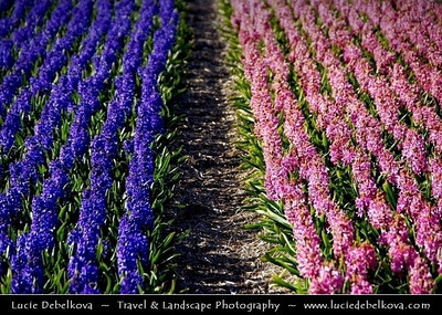 Netherlands - Dutch Spring in Bright Colors - Blooming Fields of Pink & Purple Hyacinths - World-known sight of Holland   Camera Model: PENTAX K20D        ; ; Focal length: 170.00 mm; Aperture: 6.7; Exposure time: 1/250 s; ISO: 100