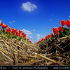 Netherlands - Dutch Spring in Bright Colors - Blooming Fields of Tulips - World-known symbols for Holland <br /> <br /> Camera Model: PENTAX K20D        ; ; Focal length: 18.00 mm; Aperture: 8.0; Exposure time: 1/500 s; ISO: 100