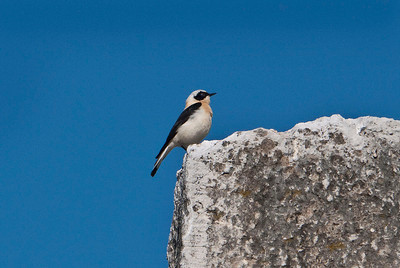 Black-eared Wheatear near Delphi