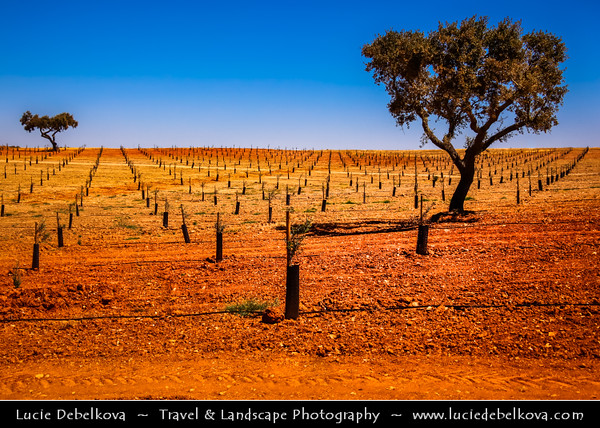 Portugal - Lonely Trees on Red Soil/Land near Evora